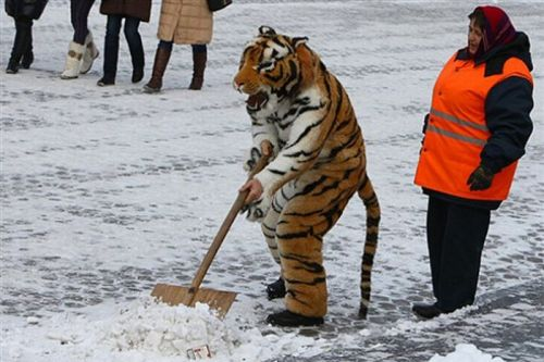 Тигр убирает снег